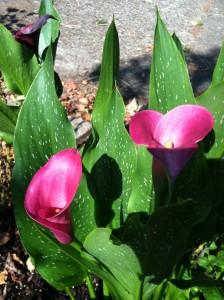 Calla Lilies --photo by K. L. Zolnoski