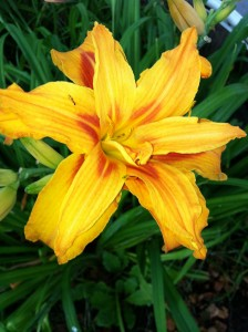 Double flower daylily--name unknown