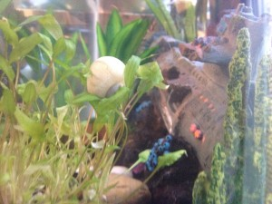 Ebriah, a blue mystery snail, playing in the plant.