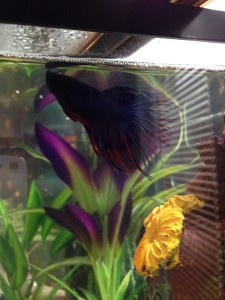 Gipsy Danger the crown tailed betta named after a Jaeger