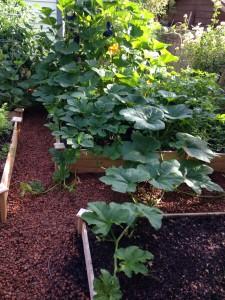 squash vines