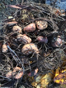 crocosima bulbs dug, cleaned and ready to replant.