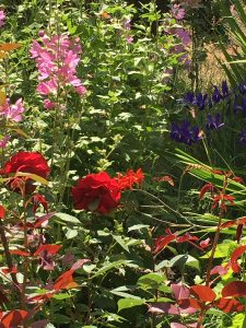 Rose Taboo, Mallow, Dutch Blue Iris and Crocosmia Lucifer